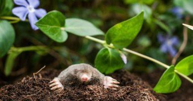 get-rid-moles-390x205-7972295